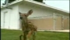 6-Legged Deer Attacked By Dog