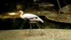Birds, Painted Stork