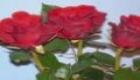 Red Rose  rdee roice