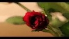 Rose time lapse in water color.